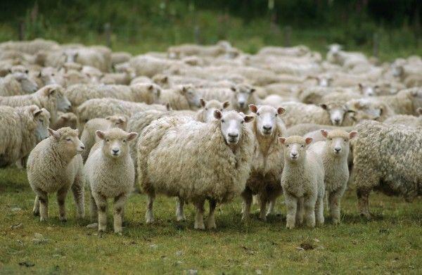 В Беларуси будут развивать овцеводство