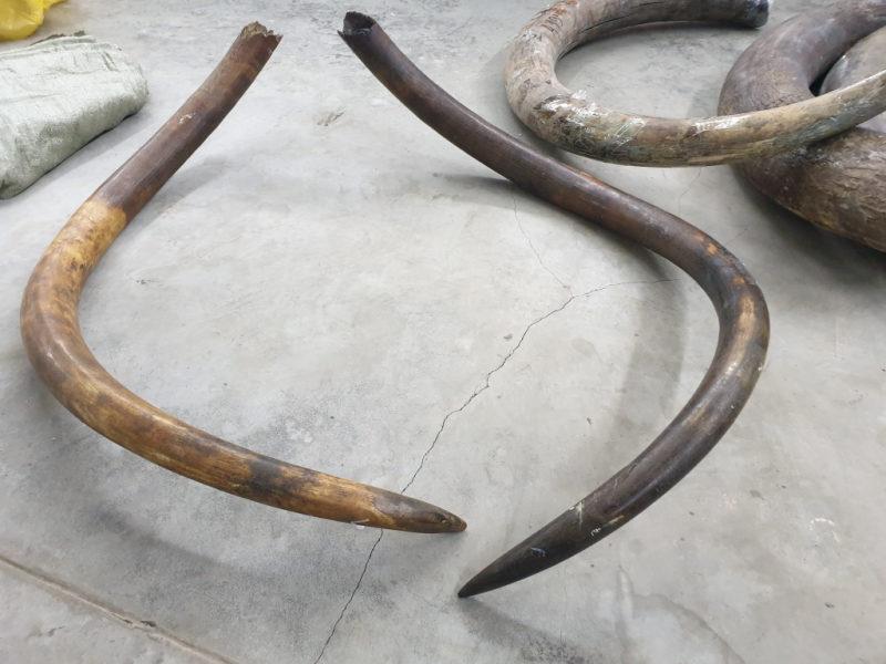 В Беларусь пытались ввезти бивни мамонта