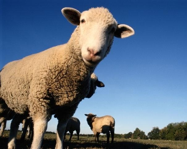 В Лидском районе мужчина украл и съел двух овец