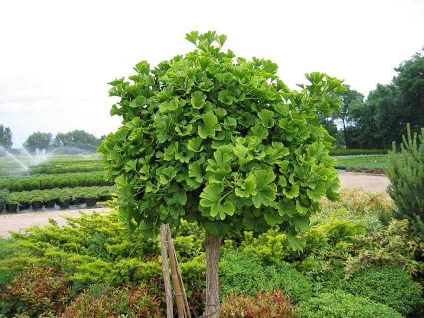 Под Лидой появятся древнейшие деревья на Земле