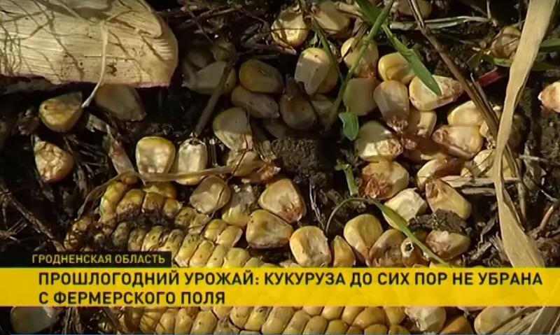 Под Лидой с полей до сих пор не убрана кукуруза [ВИДЕО]